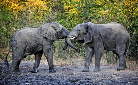 elephants fight  in liwonde national park malawi photo