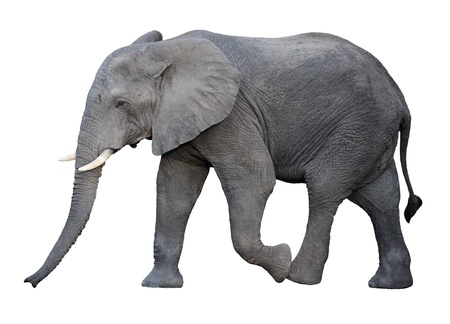 elefanten: erwachsenen afrikanischen Elefanten isoliert auf wei�