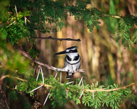 malawi: Pied Kingfisher in liwonde national park malawi