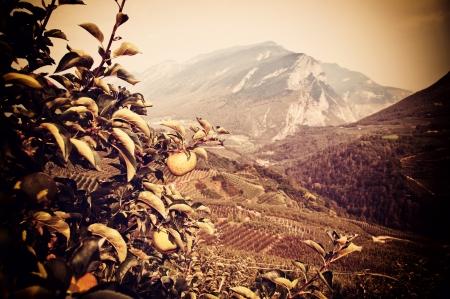 apple trees in val di non, trentino, italy