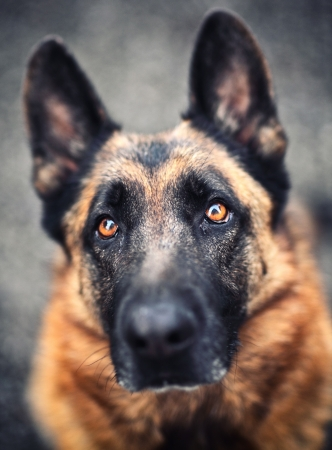 sheppard: portrait of adult german sheppard selective focus image Stock Photo