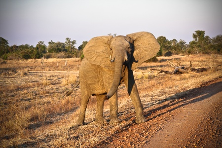 adult elephant in luangwa nationa park zambia photo