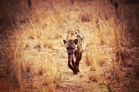 spotted hyena in luangwa park zambia photo