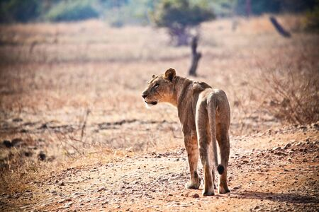 kruger national park: lioness in luangwa national park zambia