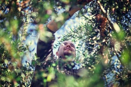 olive leaf: trabajador de la cosecha de olivo en Italia