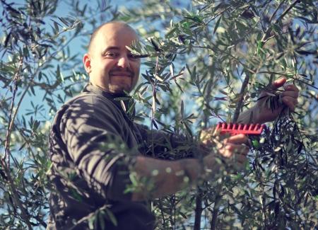 hoja de olivo: cosecha trabajador del olivo en Italia