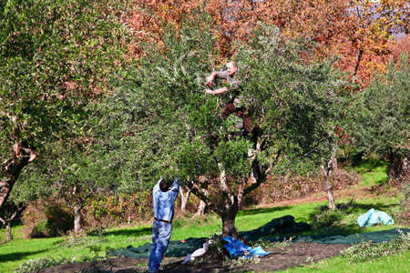 worker harvest from olive tree in italy photo