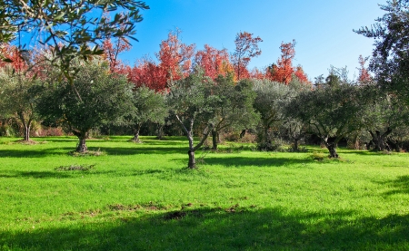 calabria: landscape of calabria, olive trees Stock Photo