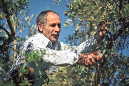 olive tree: farmer  at work with olive tree Stock Photo