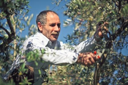 olivo arbol: granjero en el trabajo con el árbol de oliva Foto de archivo