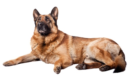 portrait of german sheperd on white background photo
