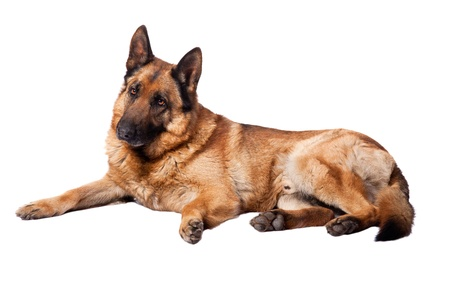sheperd: portrait of german sheperd on white background