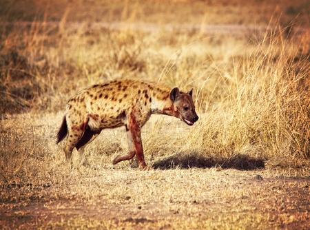 savana: spotted hyena in zambia national park Stock Photo