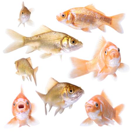 pez pecera: colección de peces de colores plantean en blanco Foto de archivo