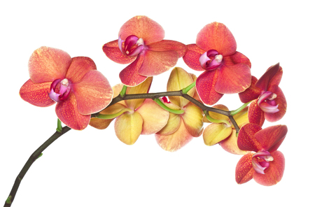 pink flowers: orchid flower on white background Stock Photo