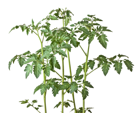 tomato plant on white background