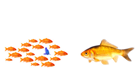 little one: group of little goldfish and big one