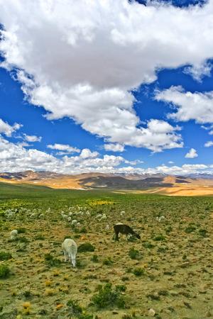 peru plateau and lama at pasture