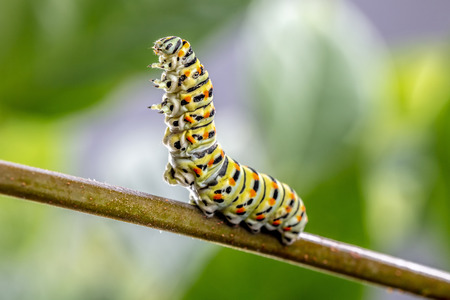 Papilio machaon Caterpillar in threatening posture