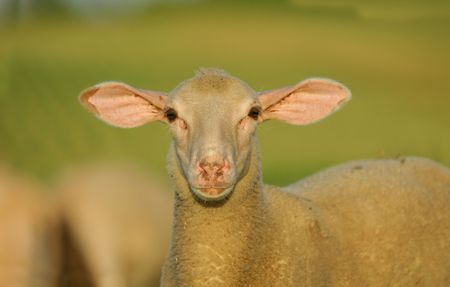 the sheep photo