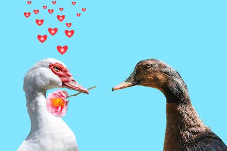 A declaration of love between two ducks. photo