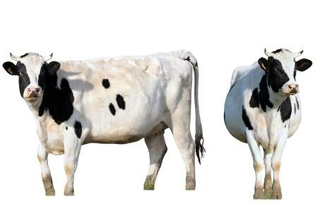 a cow, isolated frontal and profile Stock Photo - 8957256
