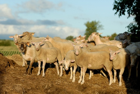 naivety: sheep on a pile of manure in France