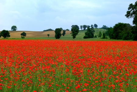 red poppies on green field: a field of poppies in France