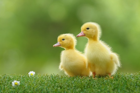 Kleine Ente, die Leben entdeckt Standard-Bild - 10562629