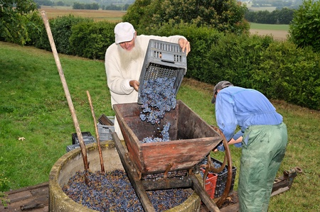 press the grapes to make wine photo