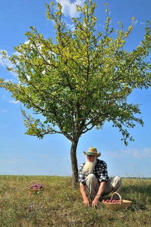 plum tree: picking plums in the orchard, in the South of France Stock Photo