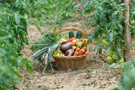 kitchen garden: harvest of vegetables and fresh produce garden