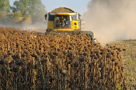 Harvesting of sunflower fields in the south of France photo
