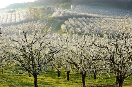an orchard of plum blossom, in french countryside photo