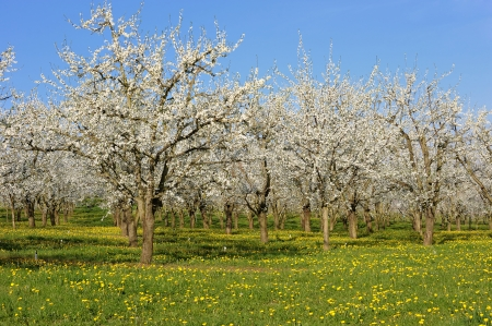 flowering plant: an orchard of plum blossom, in french countryside