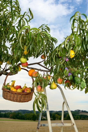 genetically modified: picking fruit on the tree genetically modified