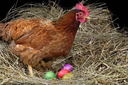 gallina con huevos: una gallina que pon�a huevos de Pascua
