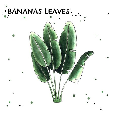 Banan leaves on white background. Hand draw illustration