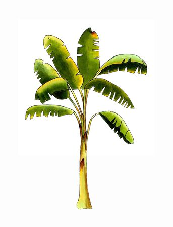 Banana tree on white background. Hand draw illustration