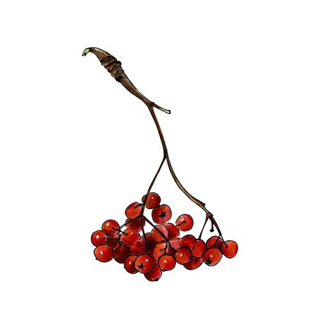 Red berries of mountain ash on white background