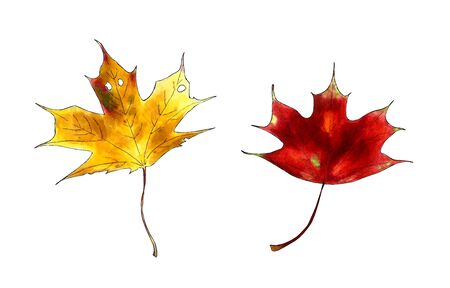 Set of autumn maple leaves on white background. Hand draw illustration Stok Fotoğraf