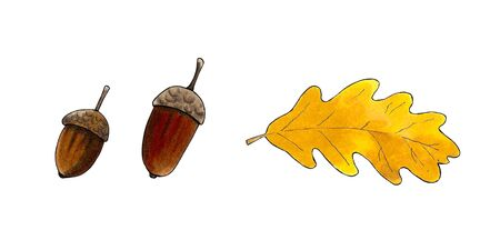 Autumn set of acorns and oak leaf white background. Hand draw illustration Stok Fotoğraf