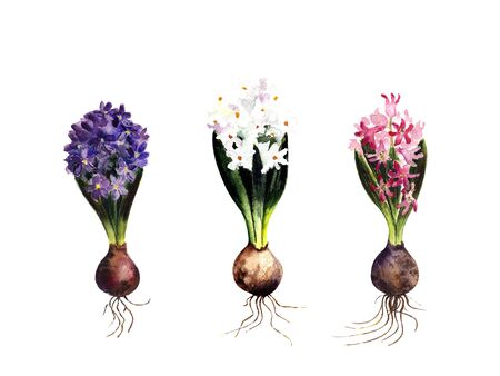 Set of hyacinths: white, pink, blue on a white background. Watercolor illustration 版權商用圖片