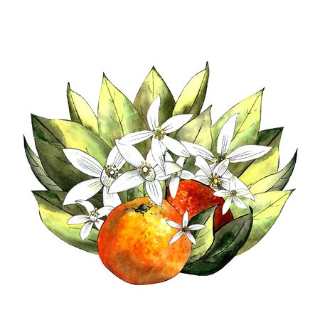Mandarin with leaves and flowers on a white background. Drawing markers 版權商用圖片
