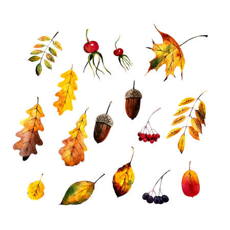 Set of autumn leaves, berries and acorns. Watercolor illustration