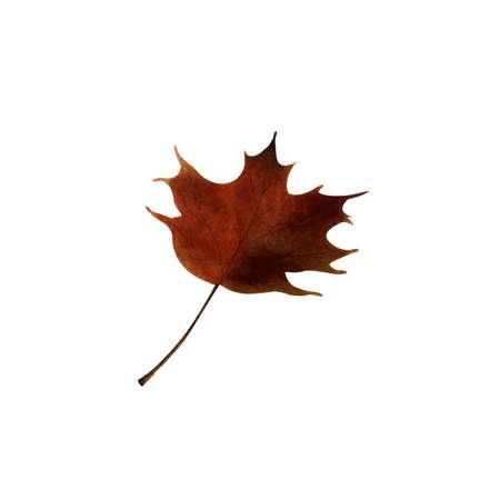 Maple leaf on white background Hand draw illustration 写真素材