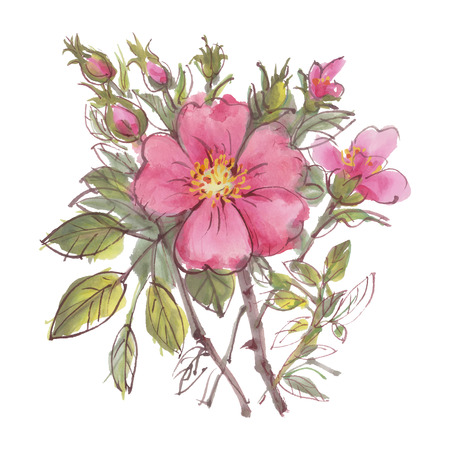dog rose: Watercolor flowers  isolated on a white background. Dog rose. Vector illustration.