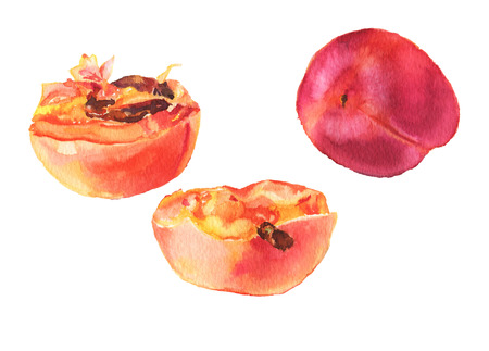 apricots: Red apricots isolated on white background. Hand-drawn illustration. Watercolor.