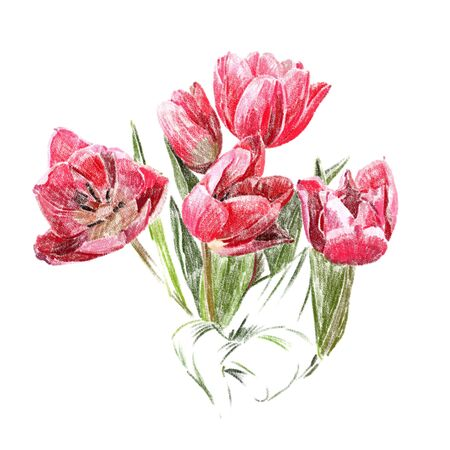gently: Flowers isolated on a white background. The red tulips. Hand-drawn illustration. Drawing with colored pencils.
