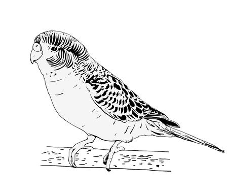 Perroquet ondulé. Encre de croquis noir et blanc. Illustration dessinée à la main. Vecteur. Banque d'images - 74887106